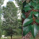 Cultivar Image