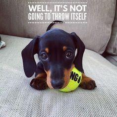 So cute ... . @martha_dachshund #dachshund