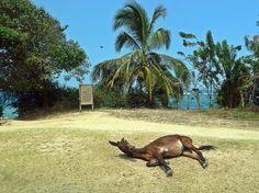 115 Tayrona Colombia Sleeping Horse by david_shankbone on Flickr.