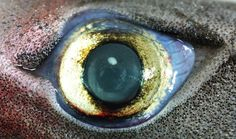 Bioluminescent sharks have evolved eyes (like this lantern shark one) that can detect the subtle light patterns produced by fellow sharks in the dimly lit twilight zone of the ocean