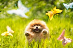 Behind These Adorable Photographs of a Pomeranian Named Flint Is an Amazing Story