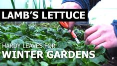 Lambs lettuce is the perfect leafy greens for winter or autumn. Self-sufficient in less than 1 acre.Autumn harvest and what to sow during the winter and autumn season. Winter Time, Winter Season, Harvest Season, Autumn Harvest, Growing Veggies, Lambs, Winter Garden, Lettuce, Outdoor Gardens