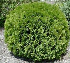 Havukasvit - Harviala Shrubs For Landscaping, Low Maintenance Landscaping, Modern Landscaping, Landscaping Ideas, Garden Shrubs, Garden Trees, Garden Bed, Patio Ideas, Evergreen Bush