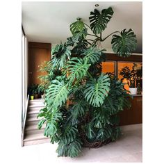 Gente que luxo essa Monstera desse tamanho dentro de casa!And I thought my monstera was big.Types of Houseplant Bugs and Methods to Check Their Infestation Happy Everyone Parisian Apartment Buildings' Entrance Halls Are The Best This One Has Been Th Tropical Garden, Tropical Plants, Tropical Flowers, Ficus, Plantas Indoor, Decoration Plante, Best Indoor Plants, Indoor Plant Decor, Indoor Trees