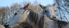 """Natürlich oder Normal?  Wenn wir schon von """"Natural"""" Horsemanship sprechen, lohnt sich wohl eine Definition von """"natürlich"""" versus """"normal"""". Manche meinen, jemand, dessen Pferd beispielsweise ein Knotenhalfter trägt, praktiziere Natural Horsemanship. Möglich ist es, doch hat dies nur sehr bedingt mit """"natürlich"""" zu tun."""