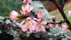 Peach blossoms Peach Blossoms, My Photos, Plants, Plant, Peach Flowers, Planets