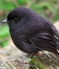 Black robin~ In 1980, there were only 5 left, including one fertile female; now several hundred of these adorable little birds.