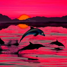Dolphin And Sunset Have A Wonderful Time Together
