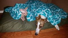 Della, fka Adele, with her new forever hairless cat buddy! #greyhounds…