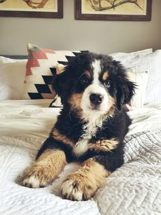 Bernese Mountain Dog.