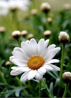 A perfect daisy Happy Flowers, Flowers Nature, My Flower, White Flowers, Flower Power, Beautiful Flowers, Anemone Flower, Sunflowers And Daisies, Daisy Love