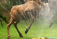 yes, that would be a moose in a sprinkler