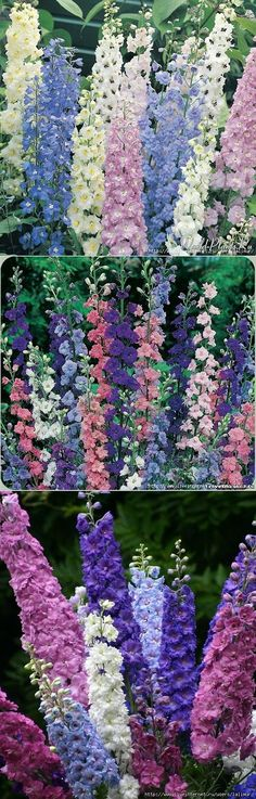 КАК ВЫРАСТИТЬ ДЕЛЬФИНИУМ ИЗ СЕМЯН | Цветы | Постила