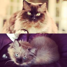 All Grown Up - A Seal Mink Kitten to Seal Mink Cat #ragdollsofinstagram #righteousragdolls Ragdoll Kittens For Sale, Kitten For Sale, All Grown Up, Mink, Seal, Kitty, Celebrity, Cats, Instagram Posts