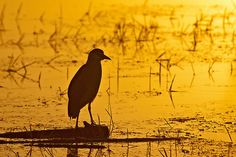 Early morning patrol.  Black-crowned Night Heron (Nycticorax nycticorax), Lake Kerkini, Greece, Europe  © Konstantinos Arvanitopoulos Photography. All Rights Reserved.