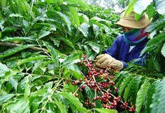 Tín hiệu mừng cho người trồng cà phê -------------------- http://taydojsc.com.vn/Tin-Tuc/Tin-Kinh-Te/Tin-hieu-mung-cho-nguoi-trong-ca-phe.aspx