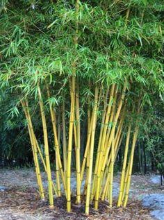 Bambusa vulgaris. Clump forming yellow bamboo.