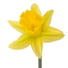 Daffodil Yellow Bulk Flower Wholesale is a classic summer flower with a bright, star-shaped bloom. This dazzling yellow flower sits on top of a long, smooth stem. Wonderful from any direction, this flower will be lovely at a baby shower, spring event or summer wedding. Also known as Narcissus, the...