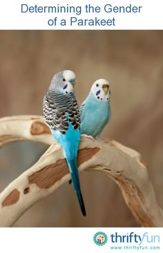 This is a guide about determining the gender of a parakeet. Determining the gender of a parakeet, especially a young one can be very difficult.