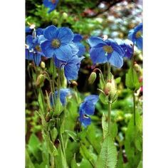 Hirts: Perennials; Sun Lingholm Blue Himalayan Poppy 20 Seeds - Meconopsis : Poppy