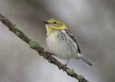 Birding Magee Marsh, located on the southern shore of Lake Erie. A resource for birders and photographers.