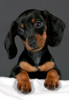 Such a cute little dachshund