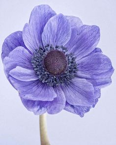 Paul Coghlin - Poppy Anemone