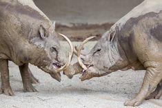"""El babirusa, que significa """"cerdo-ciervo"""", es miembro de la familia de cerdos que se encuentran en Wallacea, específicamente en las islas indonesias de Sulawesi, Togian, Sula y Buru. Si un babirusa no lima sus colmillos (a través de la actividad regular), eventualmente seguirán creciendo hasta penetrar su propio cráneo."""