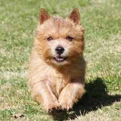 adorable Norwich Terrier I love terriers