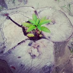 La vita trova sboccio ovunque.. #live #tree #vita #pianta #troncotagliato #rinascita #nature #SdA #MWL #100giornisulleormedellagrandemadre #100mothersday #giorno11 #day11