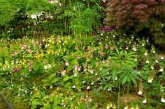 Huge display of ladyslipper (Cypripedium) orchids at Chelsea Jacques Armand International Bulbous Plants, Woodland Plants, Chelsea Flower Show, Exhibit, Slipper, Garden Inspiration, Beautiful Gardens, Blush Pink, Orchids