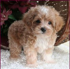 Fauna's Maltipoo, Maltepoo, Maltese Poodle Hybrid Puppies for Sale - Puppy Breeders Specializing in Healthy, Beautiful Mixed Breeds. Maltese Poodle Puppies, Cute Teacup Puppies, Havanese Puppies, Tiny Puppies, Cute Dogs And Puppies, Baby Dogs, Doggies, Poodle Mix, Bichon Frise