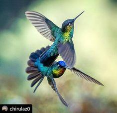 Hummingbird Photos, Bee Hummingbird, All Birds, Little Birds, Exotic Birds, Colorful Birds, Cute Creatures, Beautiful Creatures, Beautiful Birds