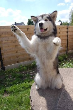 50 American Dog Names 50 American Dog Names Huskies - My favorite Malamute Husky, Husky Puppy, Alaskan Malamute Puppies, Pet Dogs, Dogs And Puppies, Pets, Husky Photos, American Dog, Snow Dogs