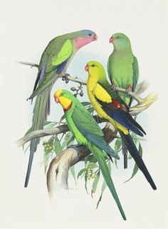 William T. Cooper - From top to bottom: Male Princess Parrot, Regent Parrot Female and Male, Male Superb Parrot