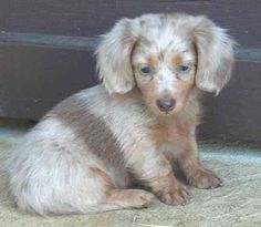 Longhaired dapple Dachshund