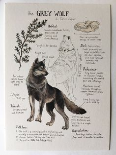 Natural Study Grey Wolf Print is part of drawings - Printed on Natural Savoy Cream Cotton Paper, this print features one of my Natural Science journal entries of the Grey Wolf Originally drawn in watercolor and ink Dimensions 5 x 7 Animal Drawings, Art Drawings, Drawing Drawing, Drawing Tips, Art Et Nature, Nature Study, Art Du Croquis, Art Watercolor, Nature Sketch