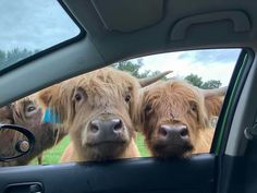 Are ye lost lass? Aye bide awhile with us then. Scottish Highland Cow, Highland Cattle, Cute Cows, Cute Funny Animals, Fluffy Cows, Mini Cows, Happy Cow, Cool Pets, Farm Animals
