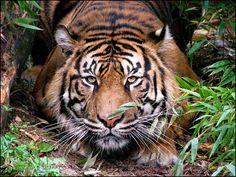 Sumatran tiger: amber eyes... by woxys.deviantart.com on @deviantART