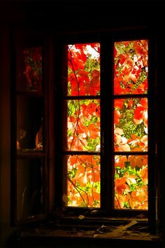 virginia creeper in autumn when the sun shines through the turning leaves..... breathtaking beauty. witch at home nootices such wonders.