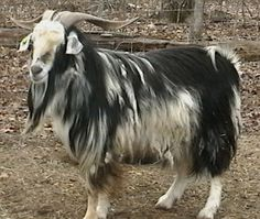 Cashmere Goat | Knitting Yarn - Natural Fibers for Your Stash