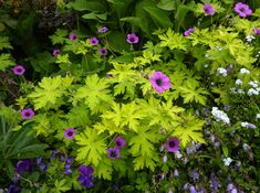 """Geranium  'Ann Folkard' $7.95. Everblooming Geranium with its colorful flowers, showy 4"""" across, golden-chartreuse leaves & a zig-zaggy intertwining habit that brings the garden together. Blooming late Spring thru Fall, those 1"""" rich magenta blooms just """"pop"""" above the golden chartreuse foliage. Growing about 1-2' tall & 2-3' wide, the trailing stems intertwine nicely with other plants. A """"must have"""" reliable contrast plant to lighten & brighten so many situations."""