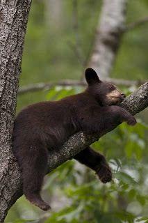 Black Bears in the Smokies on Pinterest   Great Smoky ...