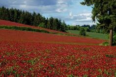 Hey, I found this really awesome Etsy listing at https://www.etsy.com/listing/125551120/bulk-500-seeds-crimson-clover-attracts