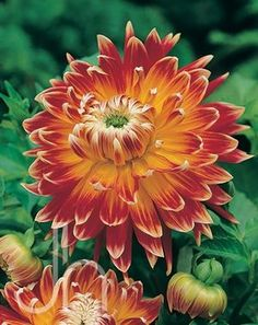 """Dahlia Dinnerplate 'Akita' - Large 6"""" blooms are deep orange with yellow centers. Height 40""""."""