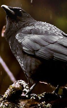 Lovely crow portrait.