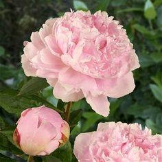 Peony lactiflora Sarah Bernhardt - 1 plant