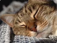 This is asleep on the back of my sofa right now! I love my tabby's.