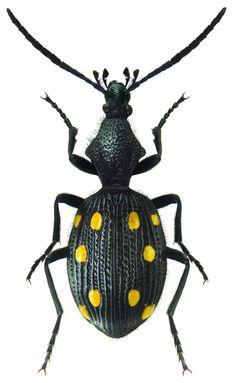 Psecadius eustalactus