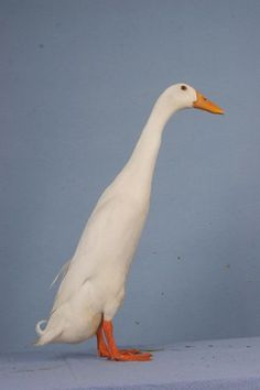 the Indian Runner Duck